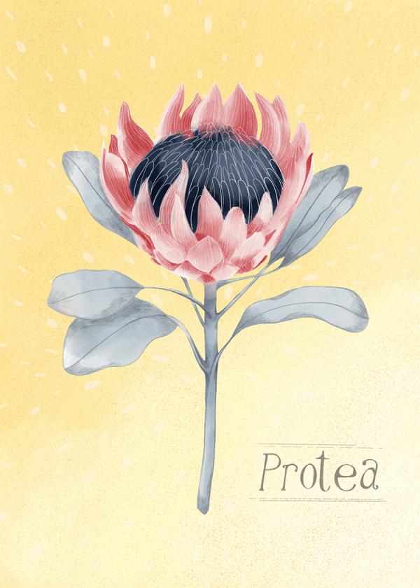 Protea - Botanical art print